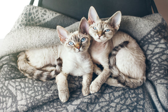 Two pretty Devon Rex cats with blue eyes are sitting together on the soft wool blanket and looking at camera, light flair effect