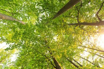 Sonnenschein und grüne Buchen Baumkronen