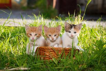 Three beautiful kittens in the basket