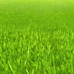 Beautiful green grass background. Springtime green grass in warm sunlight.High-resolution seamless texture