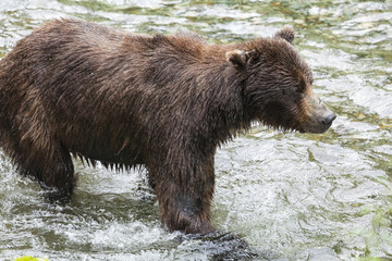 Adult Grizzly hunts for pink salmon in the shallow water at the Fish Creek Wildlife Observation Site, Hyder Alaska