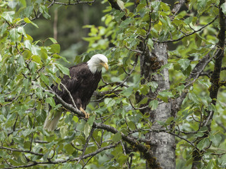 Bald Eagles station themselves along the Salmon River in anticipations of fresh pink salmon scrapes left by the wild bears at the Fish Creek Wildlife Observation Site, Hyder Alaska