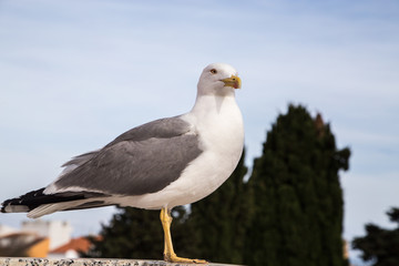 closeup gull on the roof