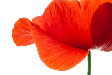 wonderful isolated red poppy flower, white background. studio shot, closeup