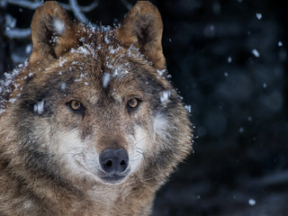 Iberian wolf in the snow in the forest in winter
