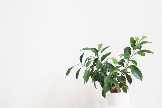 観葉植物(ガジュマル)/Chinese banyan