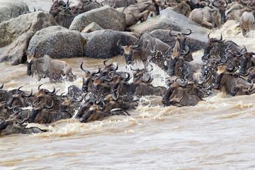 Wildebeest (Connochaetes taurinus) migration