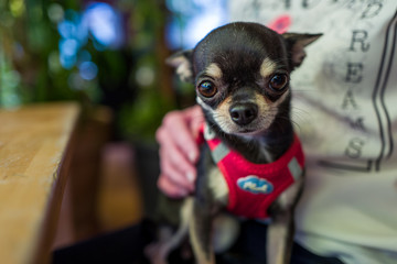 cute chihuahua on the lap