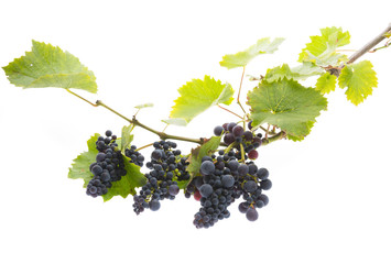 red grapes on a branch with leaves isolated on a white background