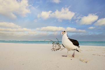 Laysan Albatros (Phoebastria immutabilis), on Midway Island, Northwestern Hawaiian Islands