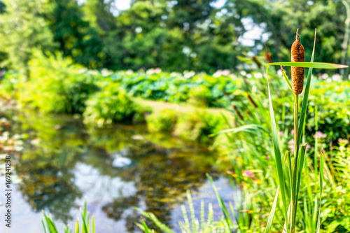 Pond and cattails in summer in Kenilworth Park and Aquatic Gardens ...
