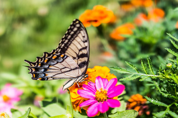 One eastern tiger swallowtail yellow butterfly on purple pink zinnia flowers in summer garden macro closeup