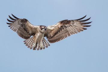Osprey in flight with spread wings.