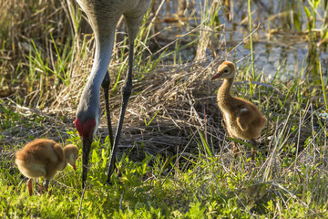 Sandhill Crane parant with two baby chicks