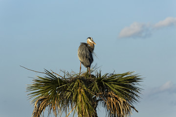 Great Blue Heron in a tree top nest