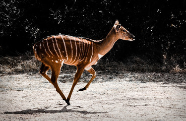 Running antelope in Africa