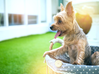 Small cute funny Yorkshire Terrier puppy dog stand on the table chair and looking for something.Vintage color style.