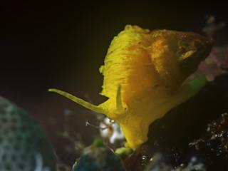 Golden Wentletrap, Becherkoralle Wendeltreppe (Epitonium billeeanum)