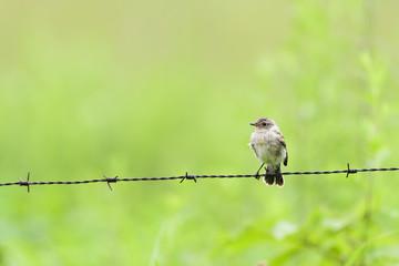 ノビタキ幼鳥(common stonechat)