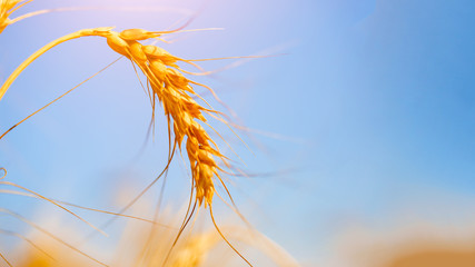 Photo of wheat spike on blue sky background