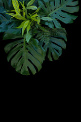 Tropical leaves decoration on black background, fern, monstera, and lemon lime dracaena.