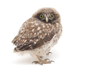 Little owl.