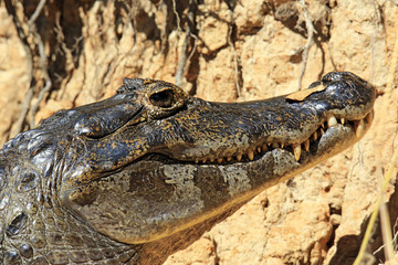 Close-up of a Spectacled Caiman (aka Common Caiman, White Caiman) in the Water. Rio Claro, Pantanal, Brazil