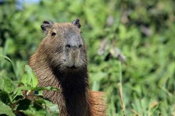 Close-up of a Capybara. Pantanal, Brazil