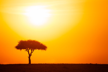 Silhouette of acacia tree against dramatic sunset