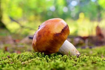 russula foetens mushroom