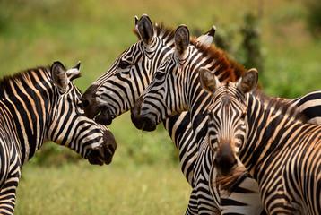 Plains Zebra - Equus quagga, Tsavo East, Kenya Wall mural
