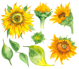 Watercolor hand drawn sunflowers