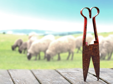 Still life with old rusty scissors for shearing sheep on a wooden table. Flock of sheep grazing on a green meadow in the background, blurred. Shears with a red handle used to cut the wool off sheep