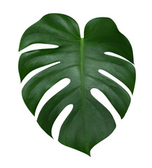 Monstera plant  leaf, the tropical evergreen vine isolated on white background, clipping path included