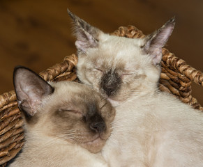 Closeup of two Siamese kittens snuggling up, asleep, in a brown basket