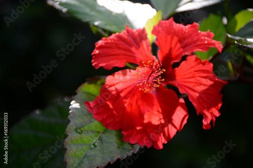 Puerto Rican Hibiscus Amapola Thespesia Grandiflora In The El