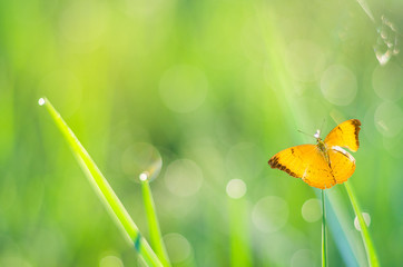 yellow butterfly flying in fresh green background.