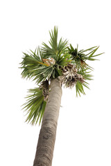 Palm coconut tree on low angle shot, isolated white background