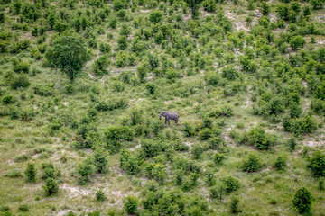 Aerial view of an Elephant in the Okavango Delta.