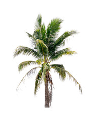 Palm coconut tree on isolated white background