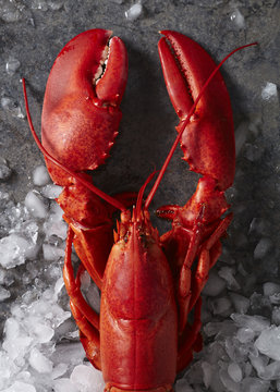 Single red steamed maine lobster on ice
