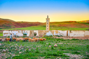 shepherd comes back with herd of sheep on a sunset, goes against the background of the abandoned mosque