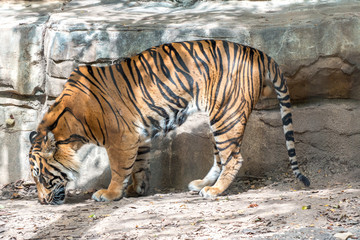 View of Tiger from the Side While his Head is Down