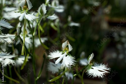 Pecteilis radiata sagiso white egret flower white little oechid pecteilis radiata sagiso white egret flower white little oechid in summer mightylinksfo