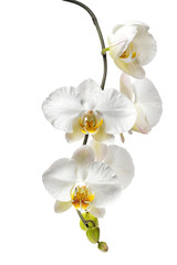 blooming  beautiful white with yellow orchid, phalaenopsis isolated on white background, close up