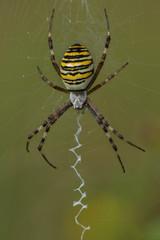 Wasp spider, Argiope bruennichi
