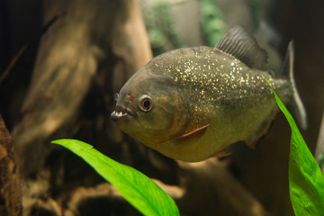 close up on piranha fish