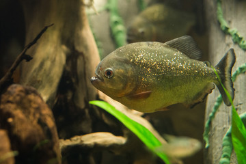 close up on piranha fish
