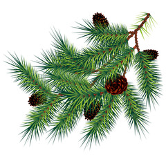 Pine branch and cones, vector