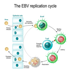 The Epstein–Barr virus replication cycle